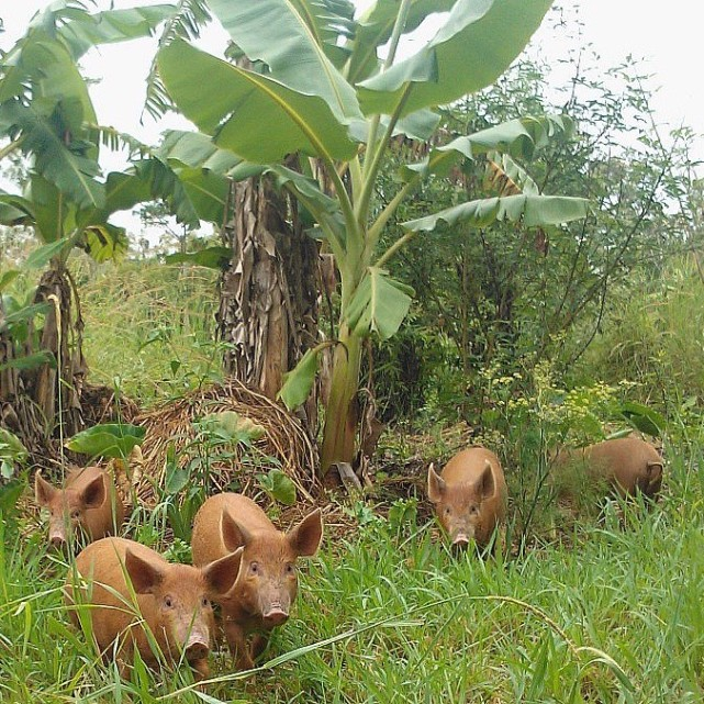 Happy pigs fed by a subtropical garden